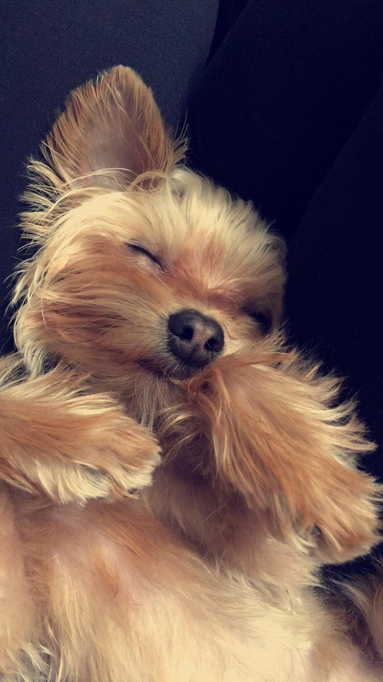The Coziest Pup Yorkshire Terrier Dog Yorkie Dogs Yorkshire