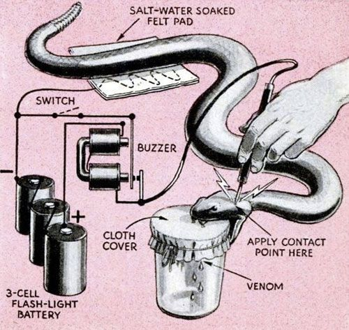The More You Know How To Extract Snake Venom Using An Electric Current The More You Know Snake Electricity