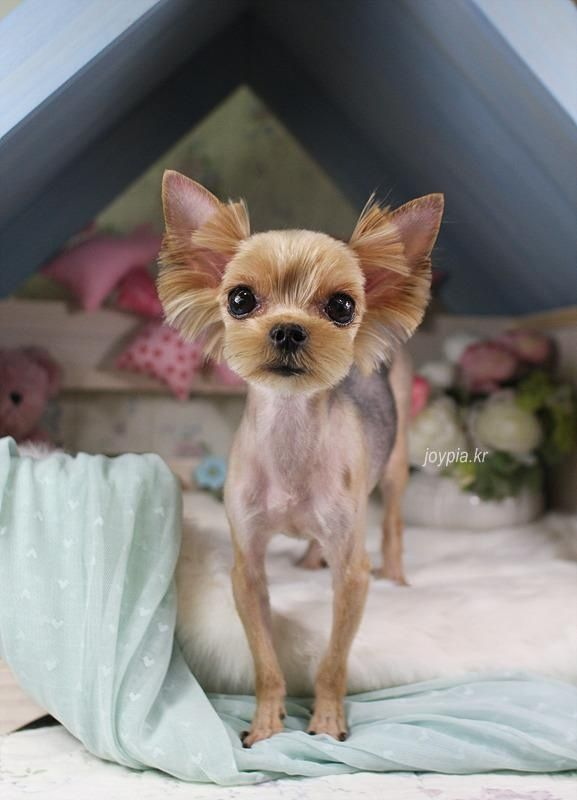 Yorkie Shaved Face Google Search Cute Animals Cute Dogs