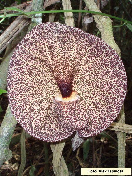 Aristolochia cordiflora.jpg (450×600)