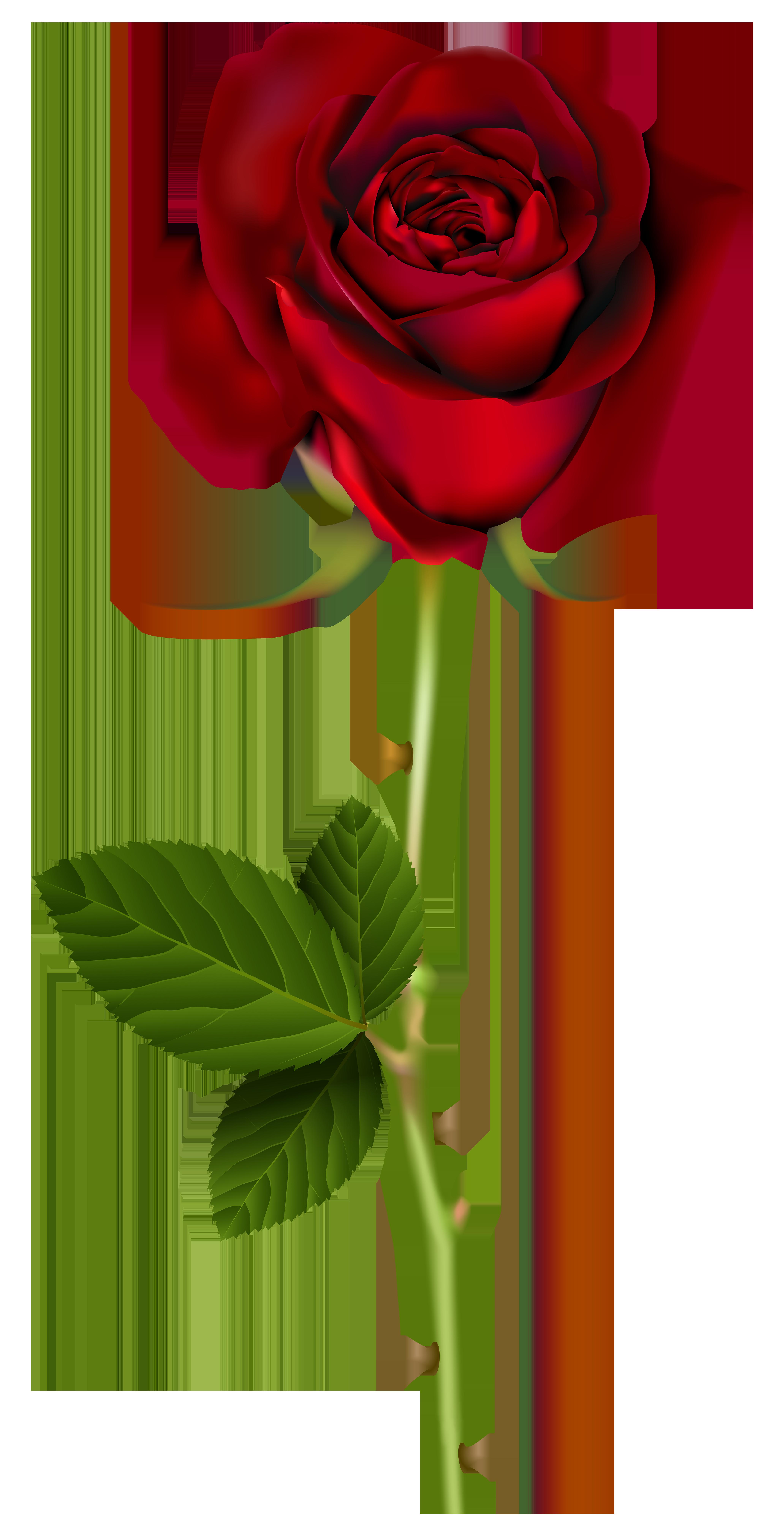 Red Rose PNG Transparent Image | Red rose png, Rose flower png, Rose clipart