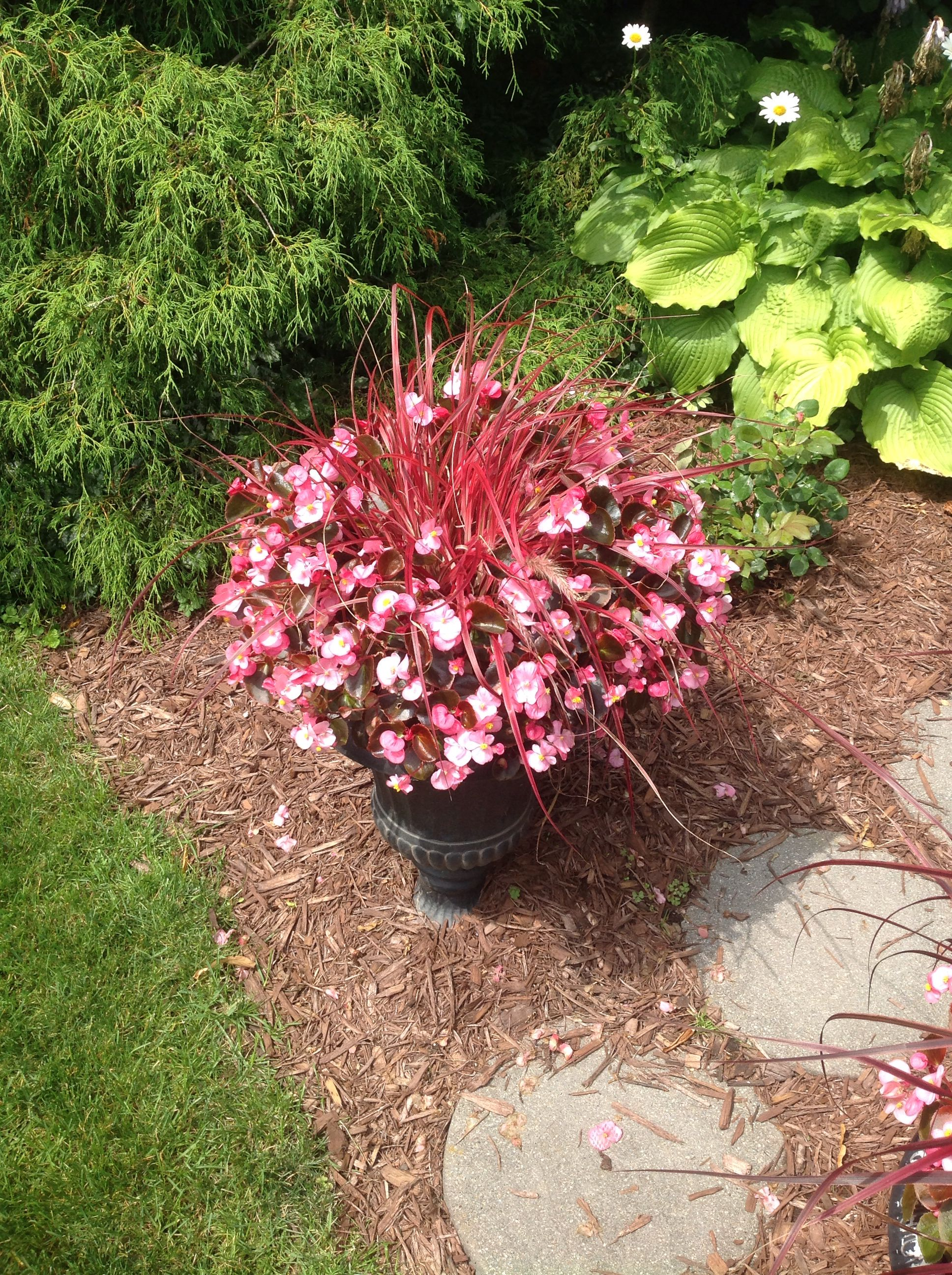 Begonias And Japanese Grass. Container GardenGrasses