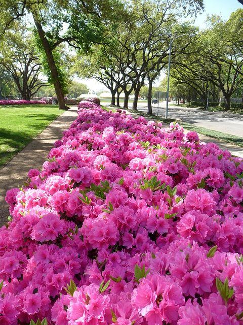 Azaleas Azaleas Landscaping Beautiful Gardens Azaleas