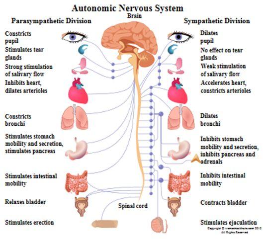 Peripheral nervous system function | Nervous System ...