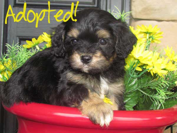 Www Cavachonsbydesign Com Cavachon Puppies For Sale Cavachon Cavachons Cavachon Dog Cavachon Pups Cavachon Pup Cavachon Cavachon Puppies Cavachon Puppies