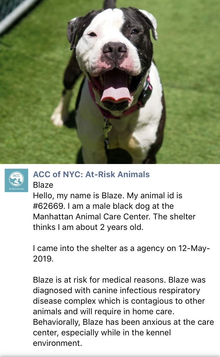 Precious Innocent Blaze Listed To Die 5 21 19 At The High Kill Center Nyc Acc Ij2 Erste Hilfe Kerle
