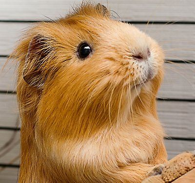 Caring for Your Guinea Pig … CRITTERS Chinchillas