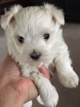 Maltese Puppy For Sale In Roff Ok Adn 31152 On Puppyfinder Com