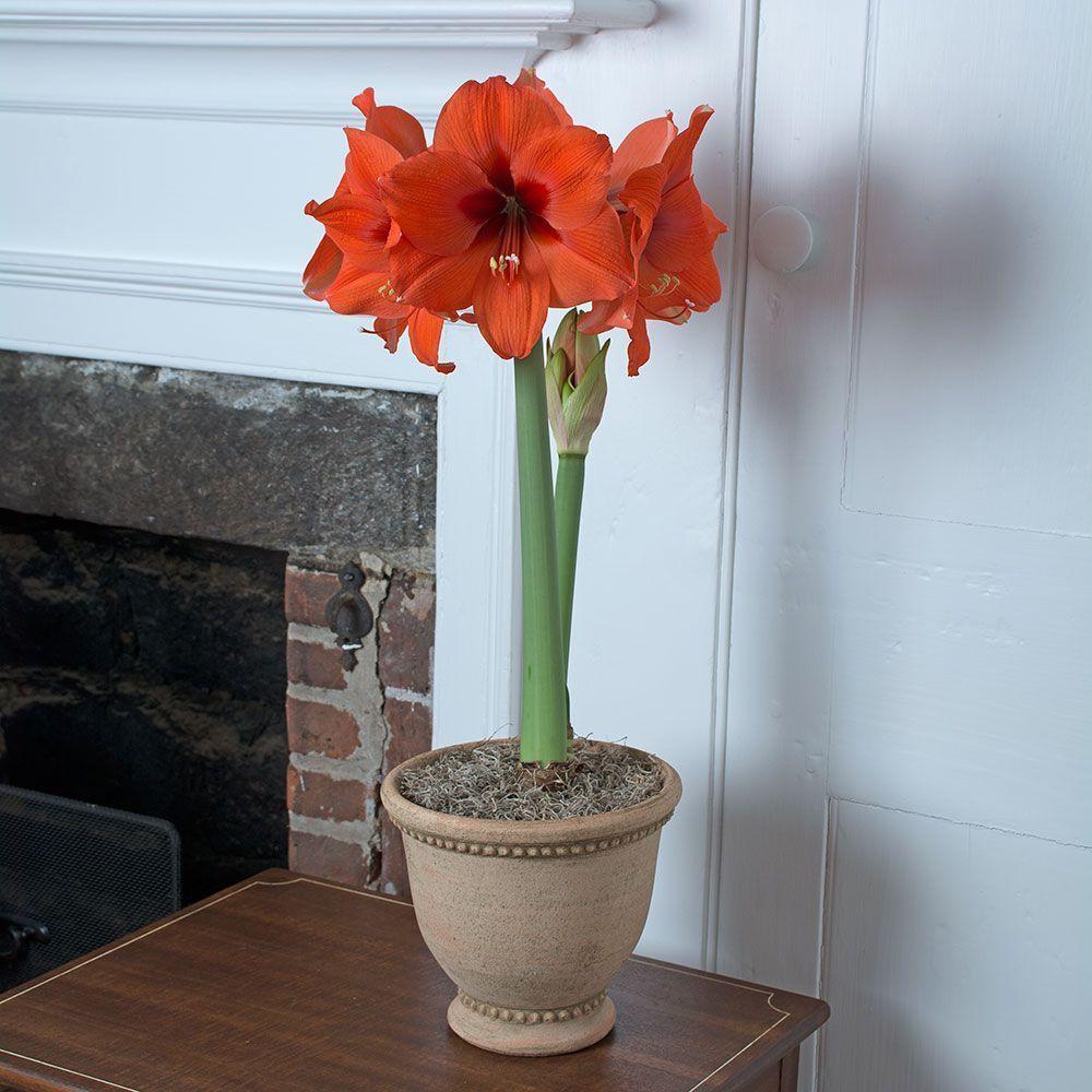 All Amaryllis By Variety White Flower Farm Gardening