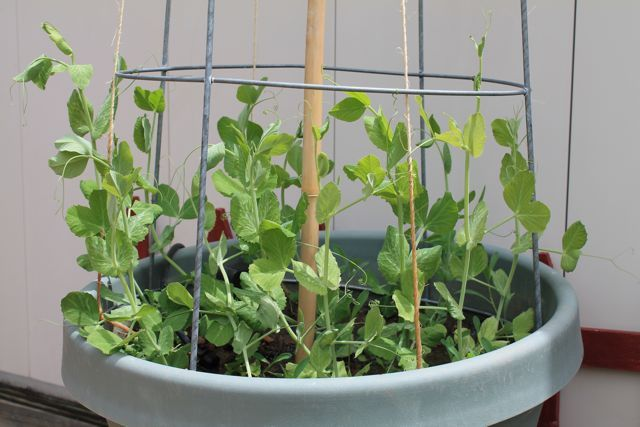 Diy Garden Projects Upside Down Tomato Cages For Snow Pea
