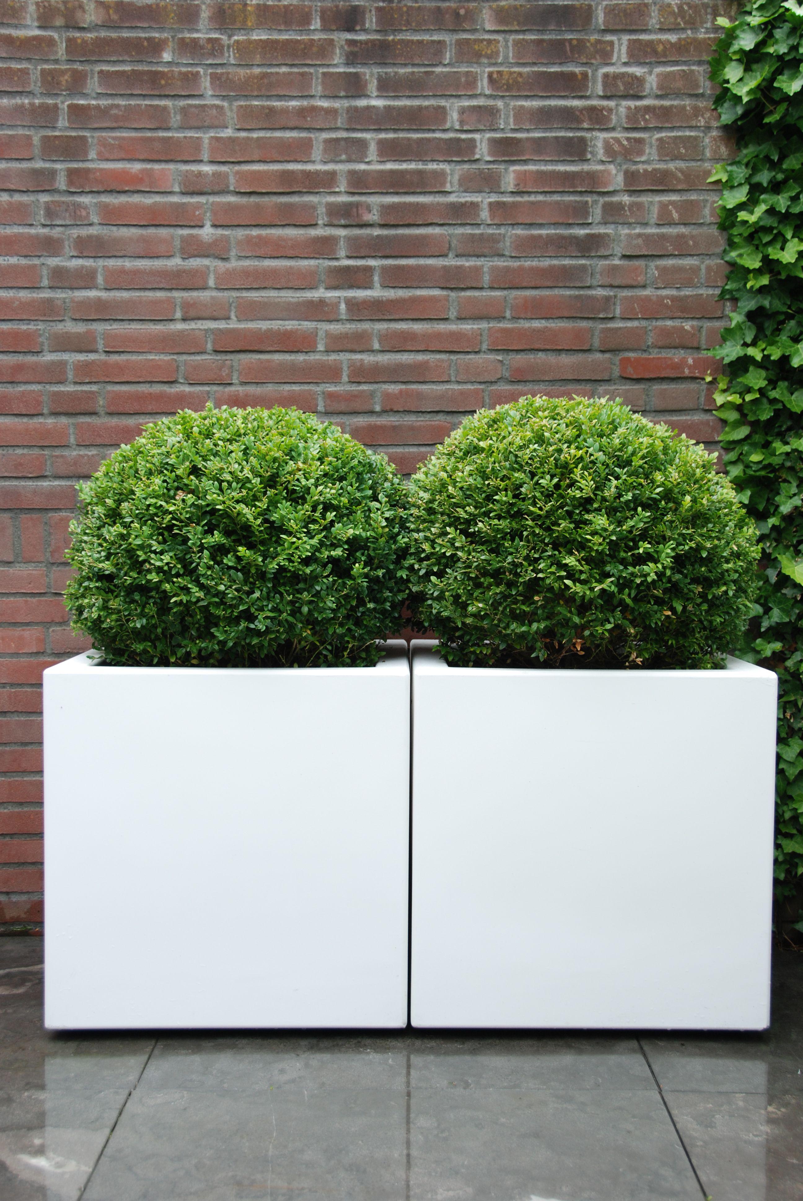 Witte vierkante bakken met buxus
