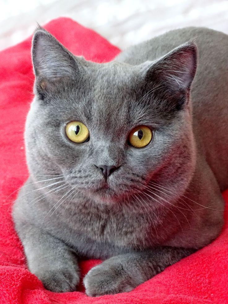 British blue cats and kittens Piękne koty, Koty