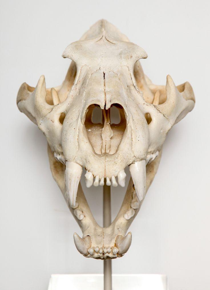 tiger skull - Google Search | s ke le ton | Pinterest | Tigers ...