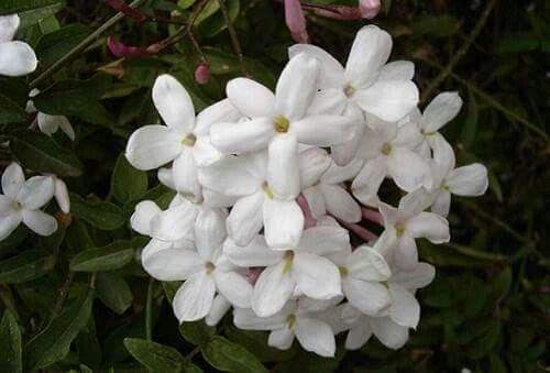 ﻳﺎﺳﻤﻴﻦ شامي Trees To Plant All Flowers Flowers