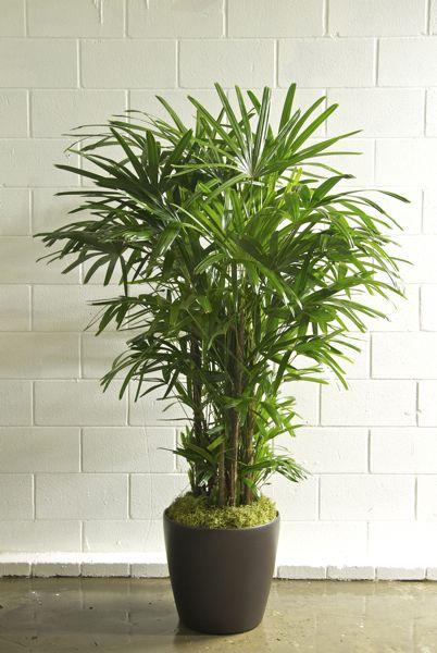 Houston S Online Indoor Plant Pot Hawaiian Rhapis Palm