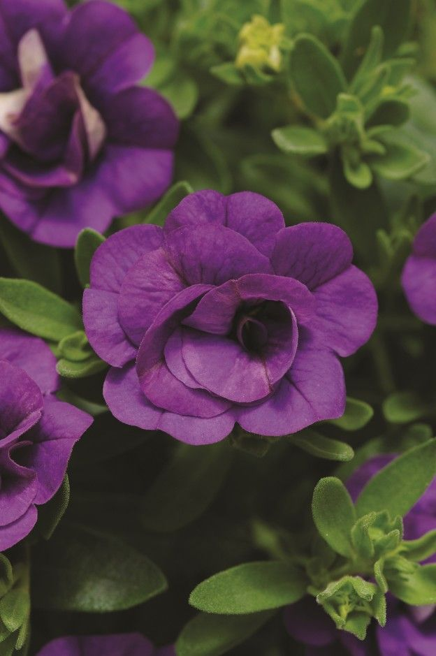 Calibrachoa 'Mini Famous Double-Blue' from Selecta