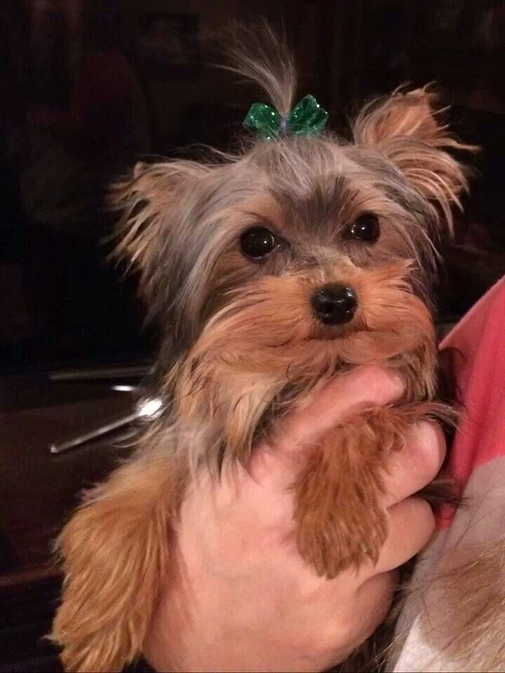 First haircut beautiful puppy yorkshire terrier yorkie