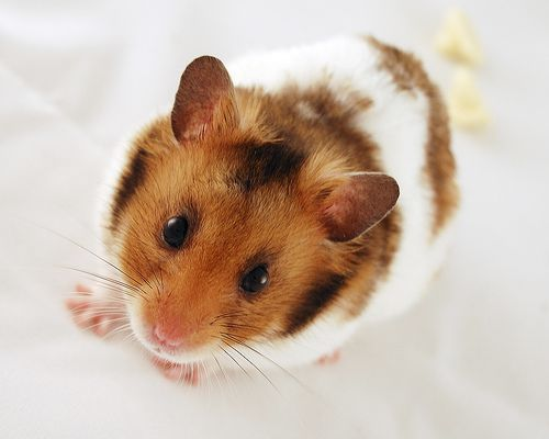 The Syrian Hamster Is One Of The Most Adorable Small Pets That Many American Families Love These Hamsters Are Also Pop Hamsters As Pets Hamster Syrian Hamster