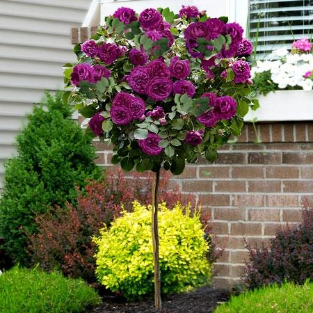 Twilight Rose Tree In 2020 Rose Trees Standard Roses Floribunda Roses