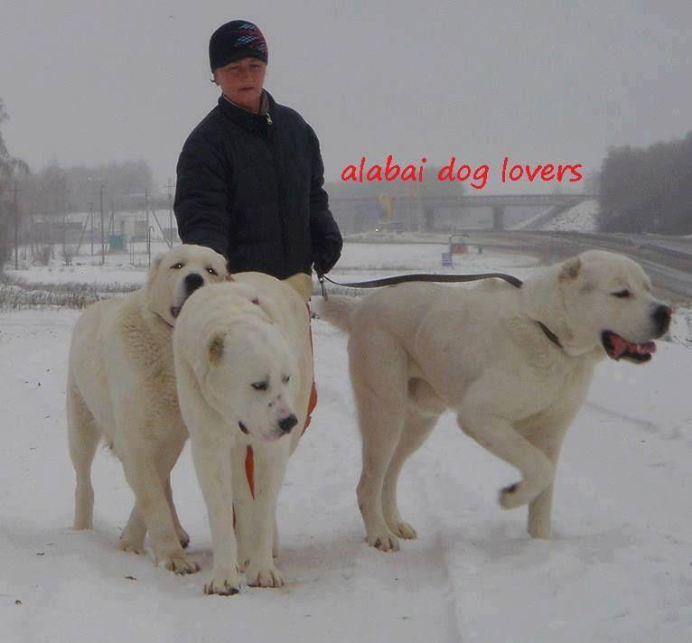 Pin By M A T E J L A N D E K E R On Alabai Central Asian Ovcharka Alabai Dog Dogs Giant Dogs