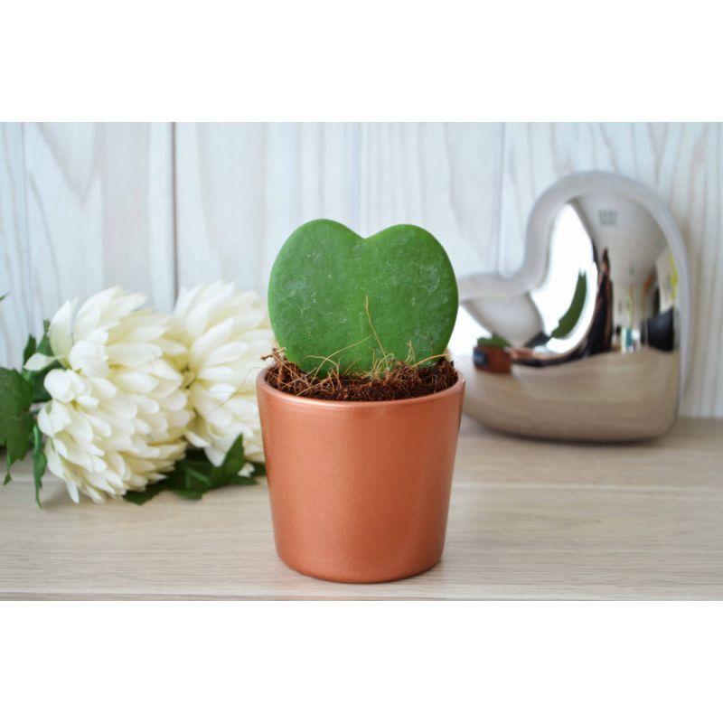 hoya petite plante grasse en forme de coeur dans un pot. Black Bedroom Furniture Sets. Home Design Ideas