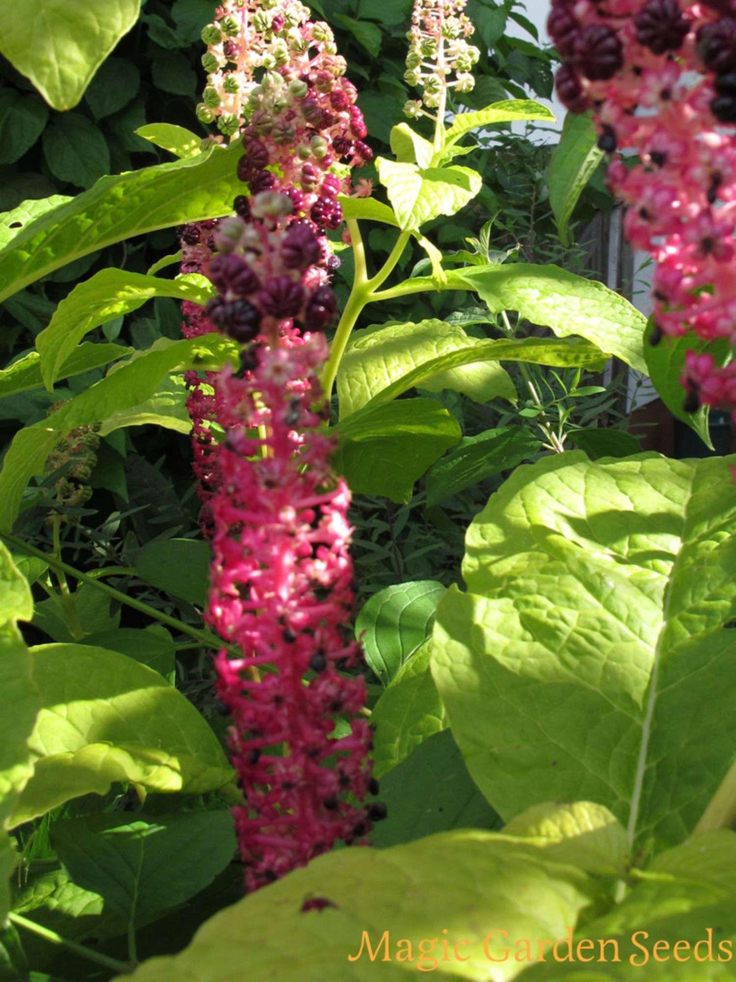 Asiatische Pflanzen übersicht asiatische heilkräuter samen und pflanzen der
