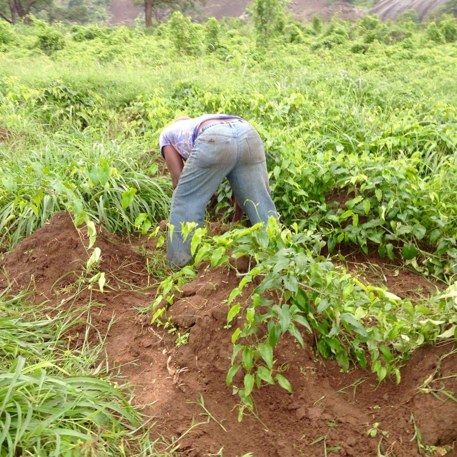 African Yam Farm Yams Farm Plants Backyard farming in nigeria