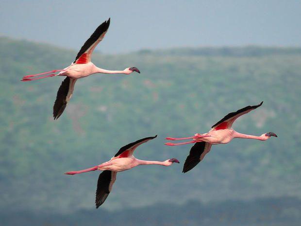 15 Fascinating Flamingo Facts | Mental Floss