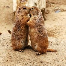 Prarie dogs kissing.