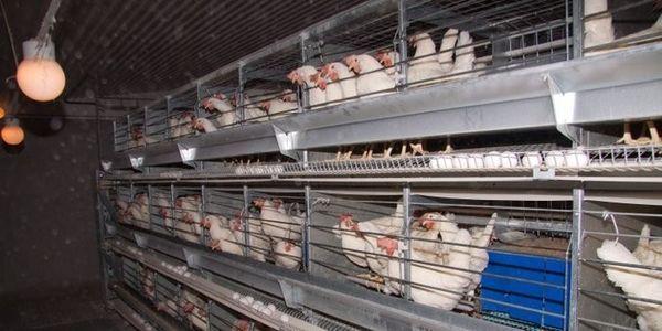 Ban battery egg production in Norway // Nei til burhøns i eggproduksjonen i Norge