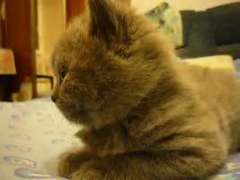 Kitten suddenly falls asleep.
