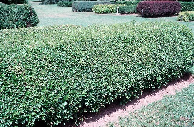Privet Ligustrum Vulgare Lodense Holly Acres Nursery 5403 Hwy 86 Elizabeth Co 303 646 8868 Deciduous Shrub With Dense Branches Covered Rich Green