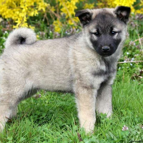 Keeshond Mix Puppy Greenfield Puppies Puppies Puppies For Sale