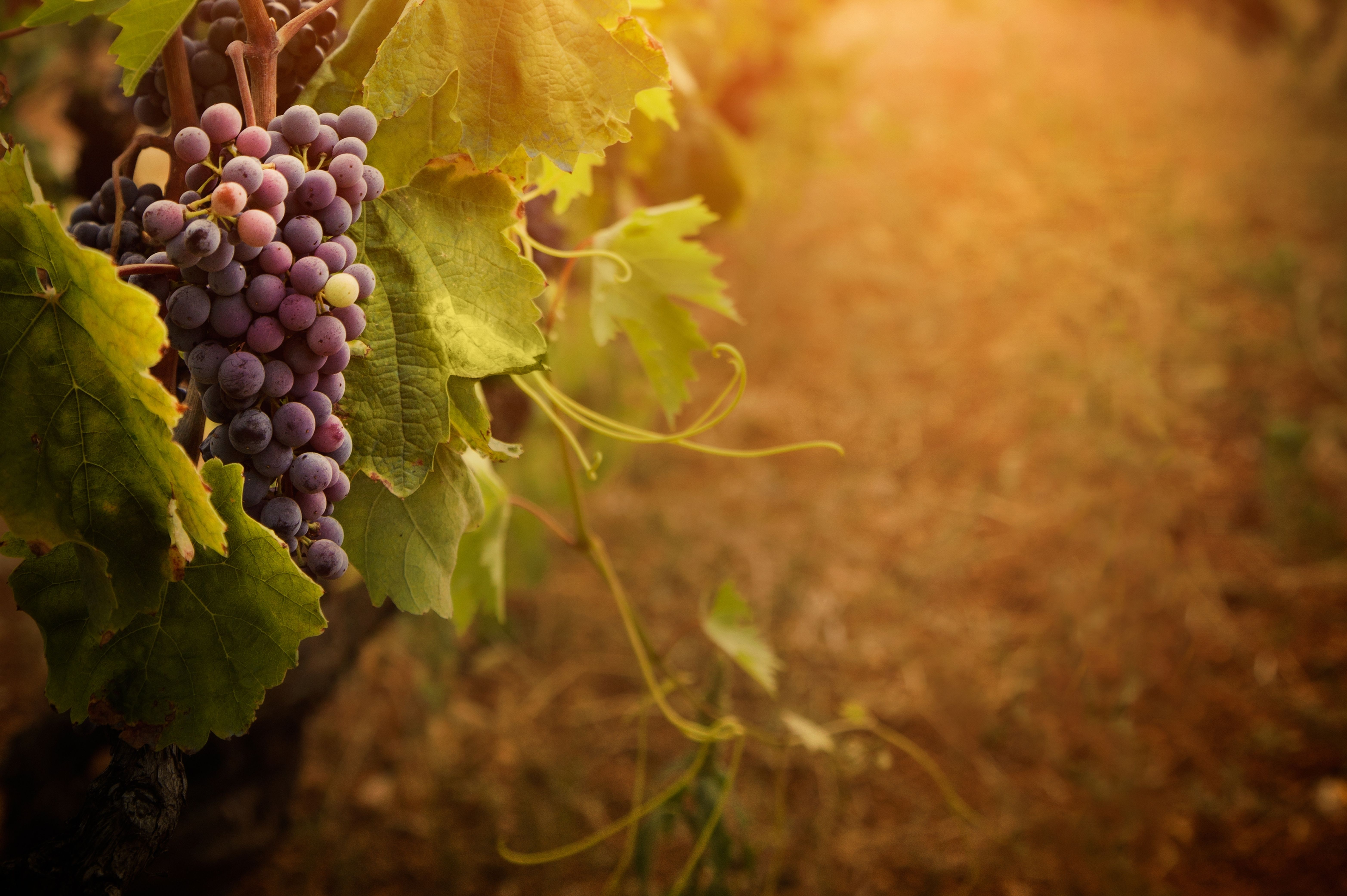 Wine Grapes Wallpaper Grape Wallpaper Grapes Red Grapes
