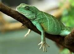 Tired Lizard | Lizard, Reptilia, Animals