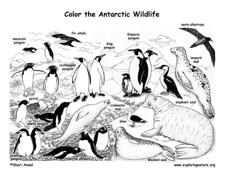 Antarctica Coloring Pages 9 Free Printable Coloring