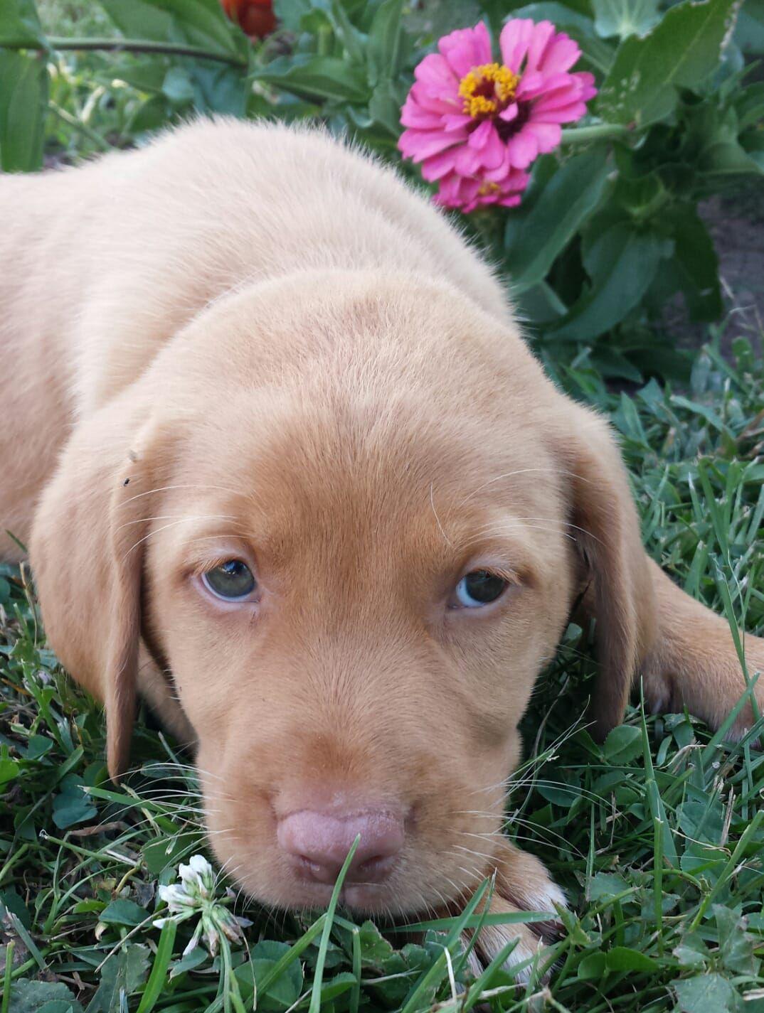 Brandy a female puppy labrador retriever for sale in