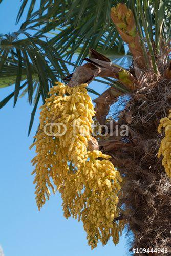 """Téléchargez la photo libre de droits """"Trachycarpus fortunei en fleurs"""" créée par Aurélien Antoine au meilleur prix sur Fotolia.com. Parcourez notre banque d'images en ligne et trouvez l'image parfaite pour vos projets marketing !"""