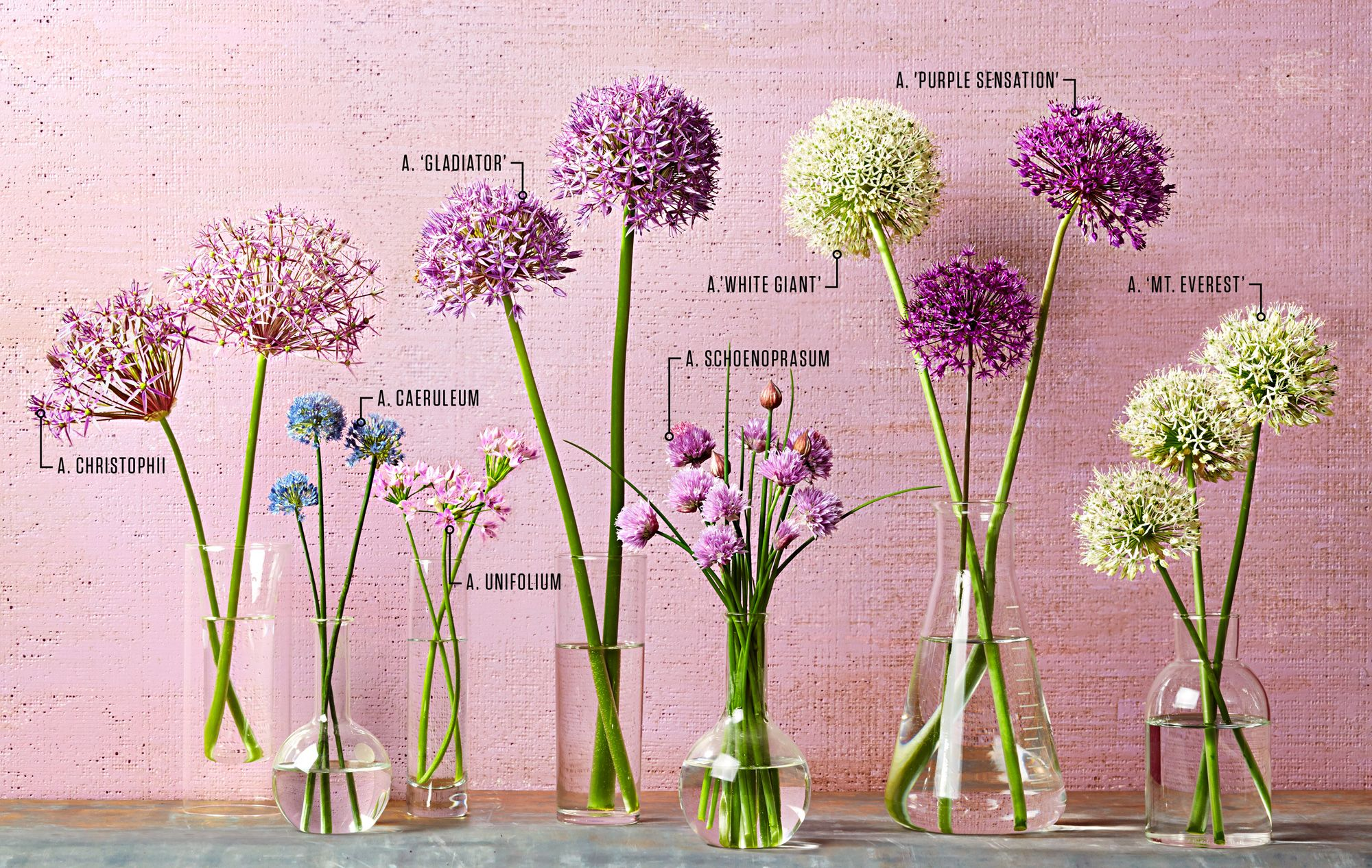 If You Ve Ever Watered A Pot Of Chives You Ve Grown Alliums Aka Ornamental Onions Now Meet The Rest Of The Fa Allium Flowers Garden Bulbs Longfield Gardens