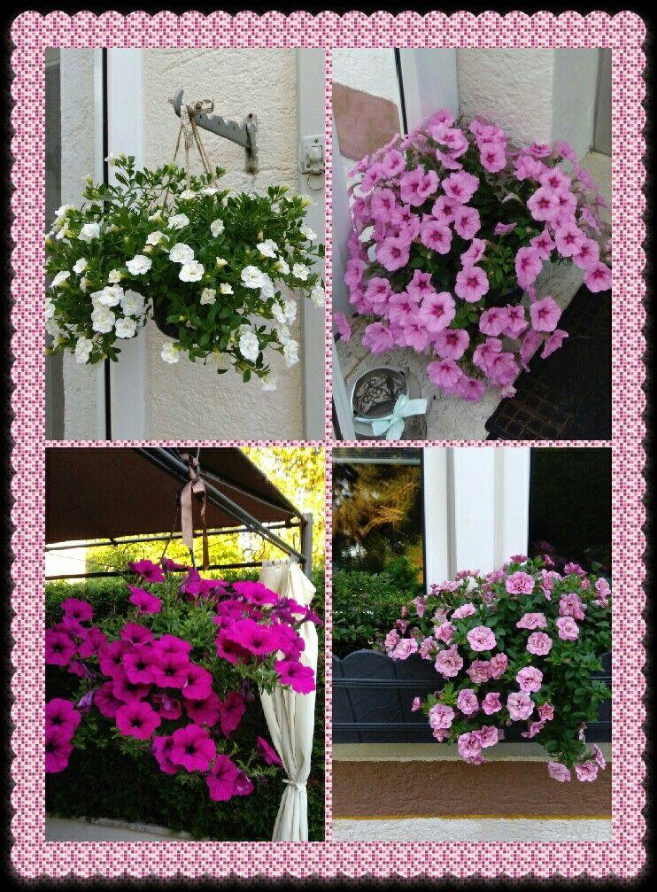 Petunie Surfinie Kwiaty Flowers Garden Kwiaty Ogrod
