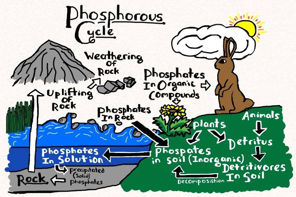 phosphorus cycle cartoon google search environmental science pinterest cartoon and search. Black Bedroom Furniture Sets. Home Design Ideas