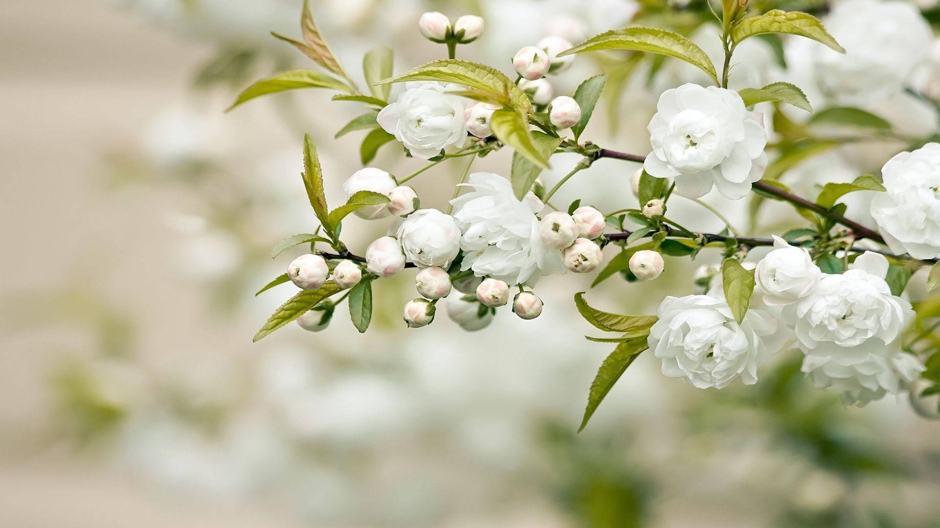 White flowers background free wallpapers pinterest white flowers