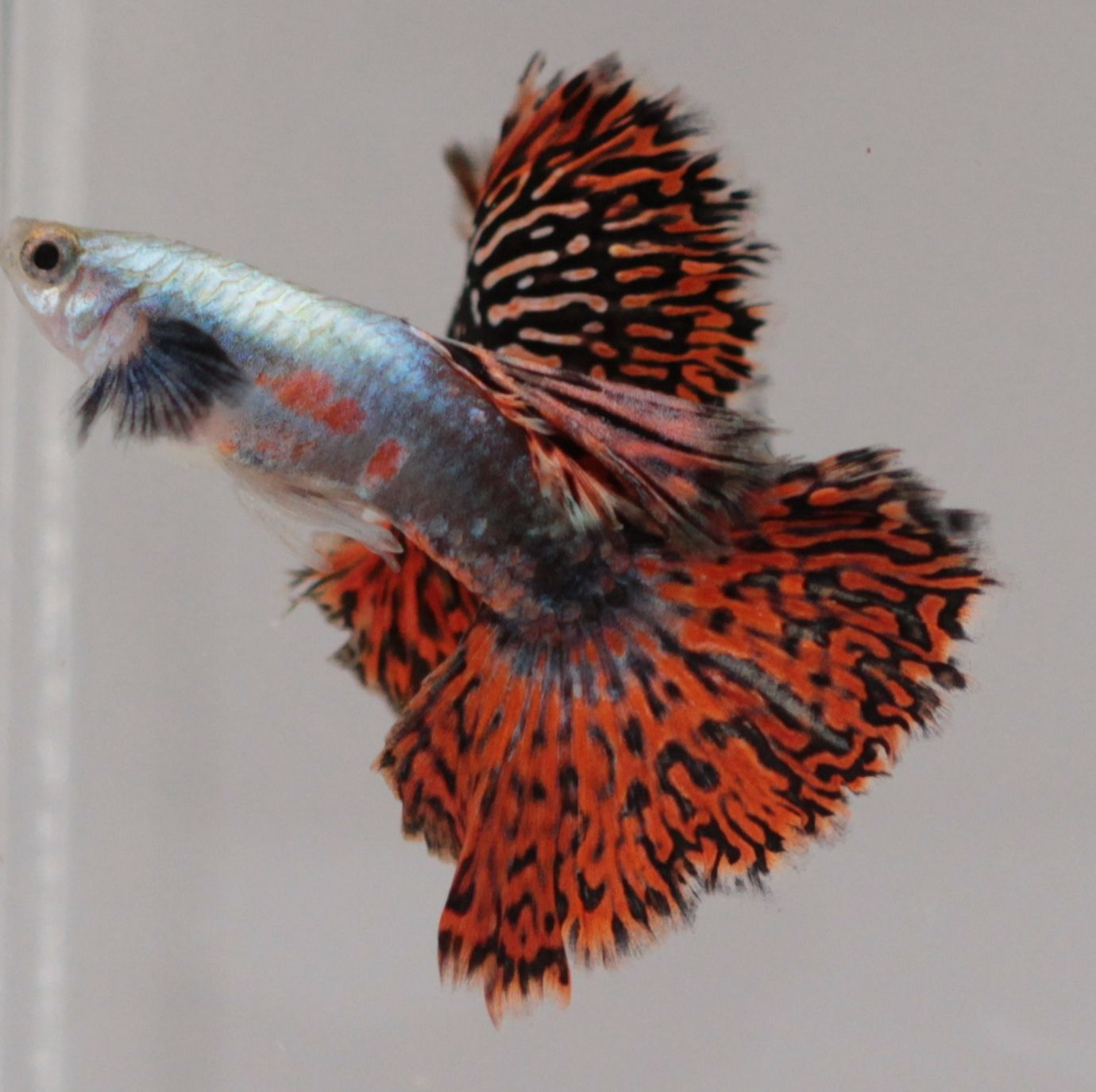Red Mosaic BIg Ear Guppies | Pez Dorado | Pinterest | Guppy, Fish ...