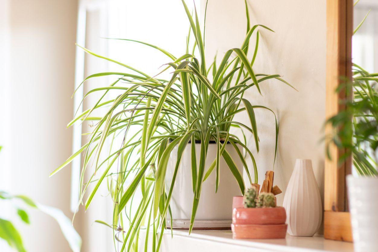 19 Pet Friendly Houseplants That Keep Cats And Dogs Safe In 2020 Dog Friendly Plants Houseplants Indoor Plants Pet Friendly