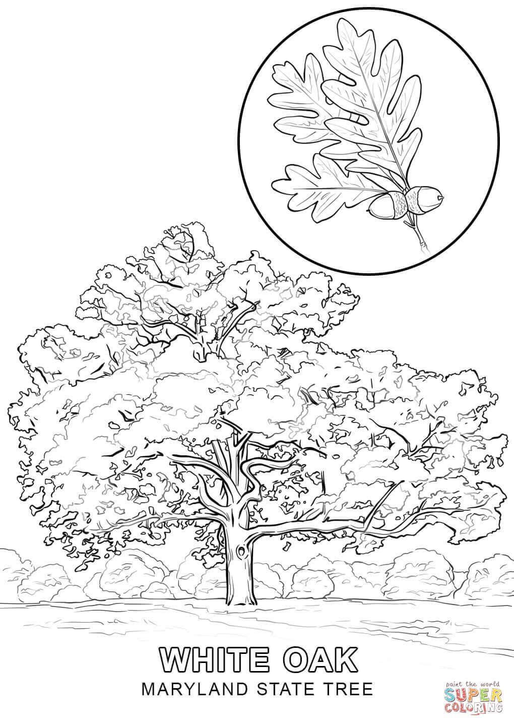 Maryland State Tree Coloring Page Free Printable Coloring Pages