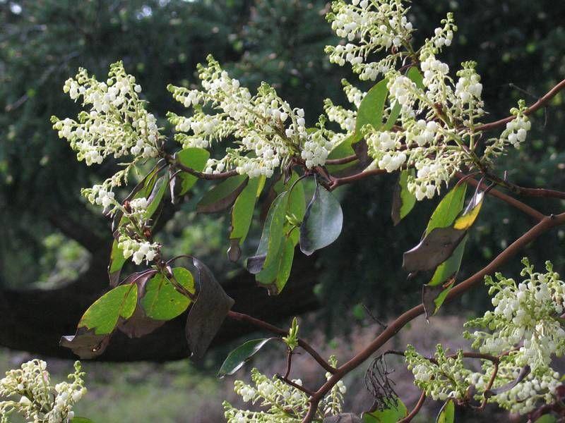 Vancouver island big trees arbutus canadas only native broad vancouver island big trees arbutus canadas only native broad leafed evergreen tree small white flowersthe mightylinksfo