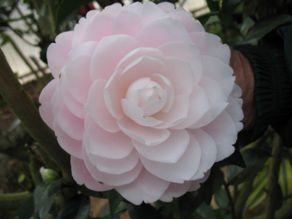 Camellia Japonica Harriet Bisbee Blush Pink Very Pale Looks White Formal Double With In Curved Petals Vi In 2020 Camellia Beautiful Flowers Flower Arrangements