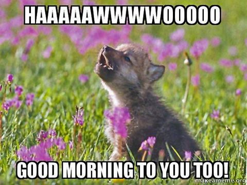 Good Morning Howl Wolves Wolf Wolfpup Howl Look Animals