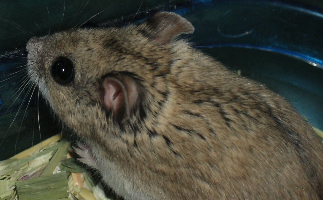 * Hamster Chinês Marron *  (Cricetulus griseus).