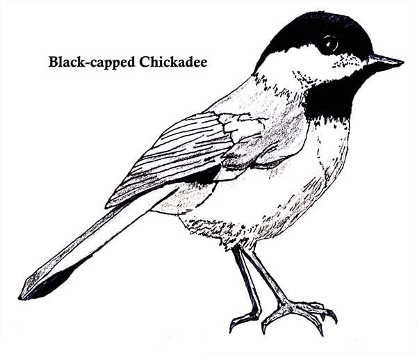 Chickadee Black Capped Coloring Page